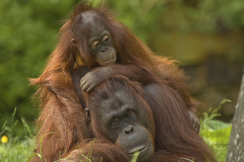 Palm Oil Free Soap | Mother orangutan with her baby