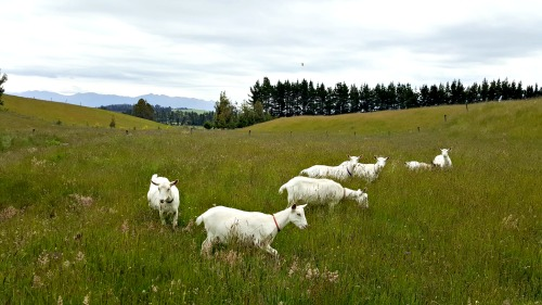 Goats-on-pasture